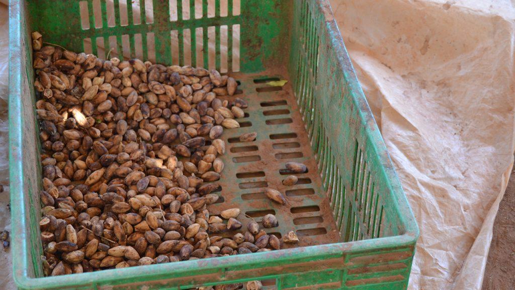 The dried Makau nut. 180629