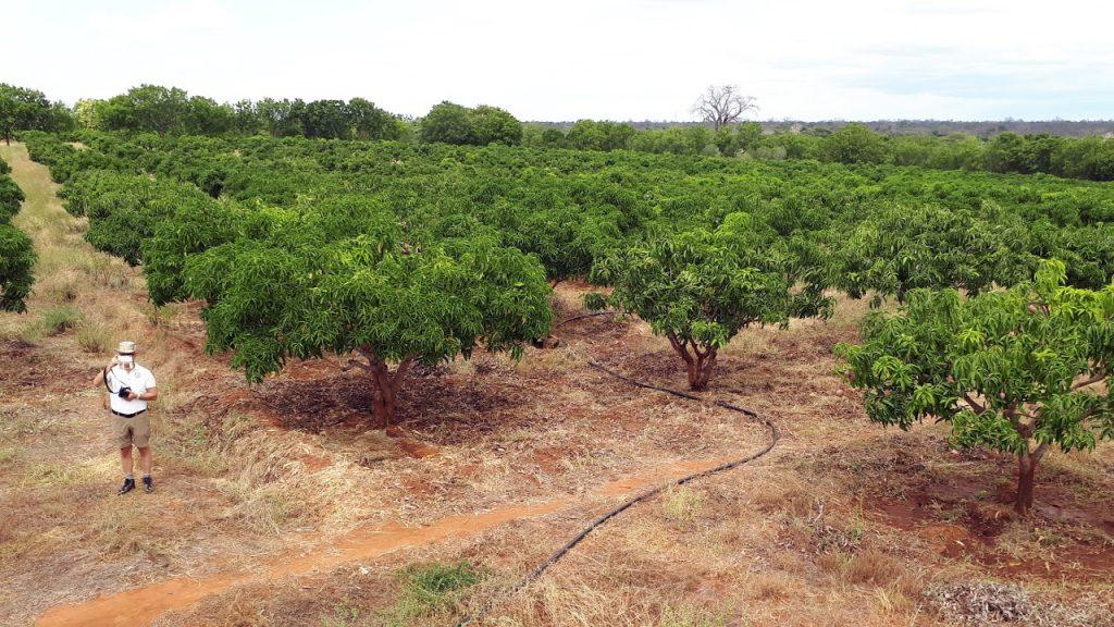 Bild på mango-träden som droppbevattnas, Kibwezi 170706