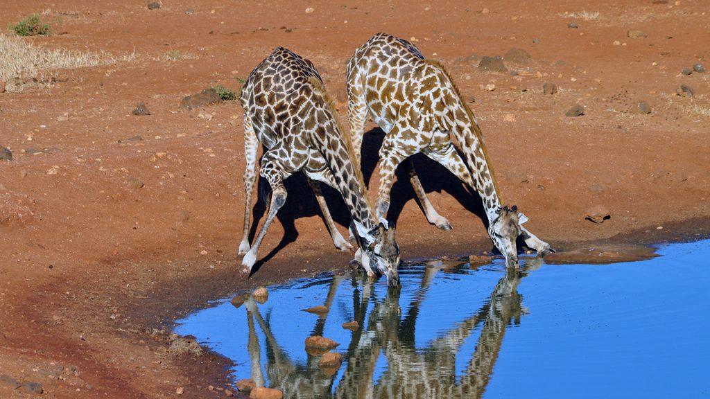 Dos jirafas en la charca, 150710