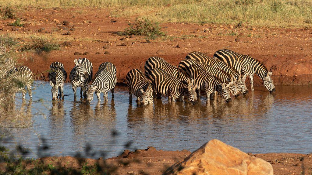 Cebras en la charca de Kilaguni.