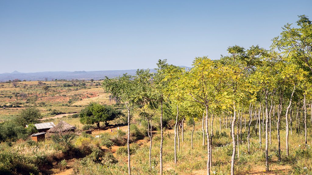 Kiambere plantations, Kenya. July 2018.