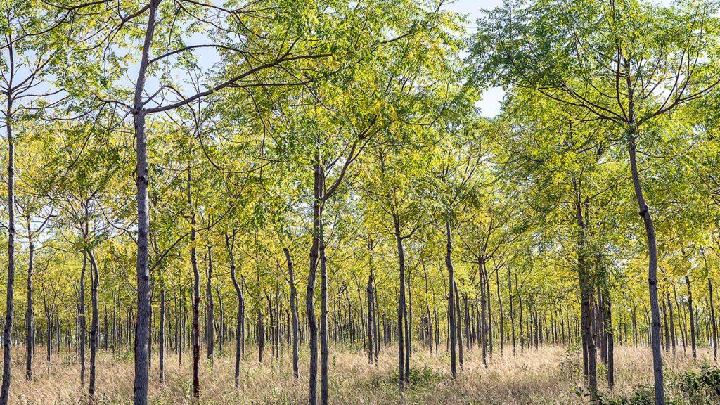 A couple of years old Mukau trees, Kiambere, Kenya. July 2018