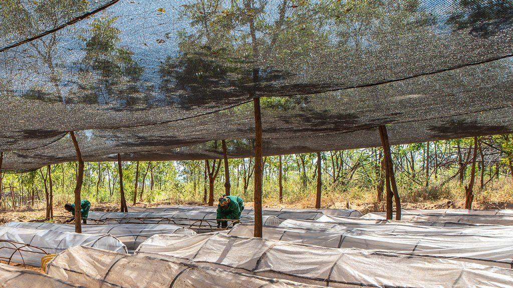 Skydd mot solen vid plantskolan på Kiambere-plantagen i Kenya. Juli, 2018