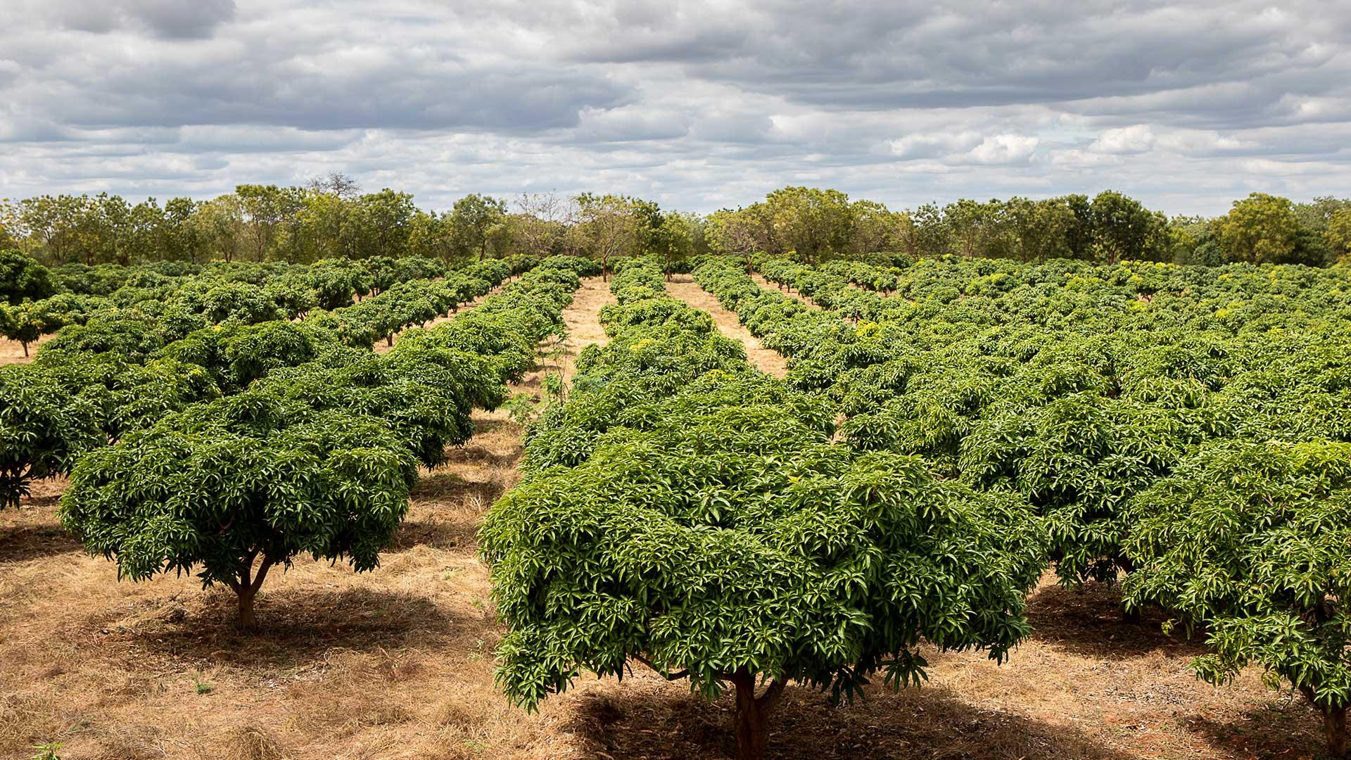 Mango trees on the test farm in Kibwezi