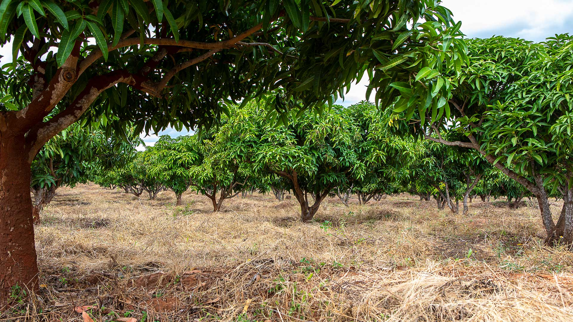 A close-up of the mango trees in Kibwezi