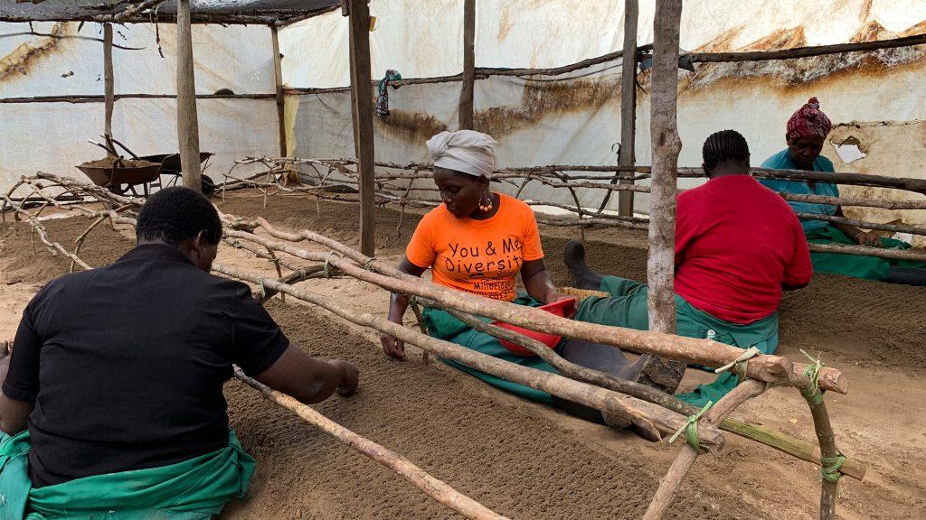 Arbetare i plantskolan (nursery) som lägger frön i rader. Foto: Torgny Johnsson.
