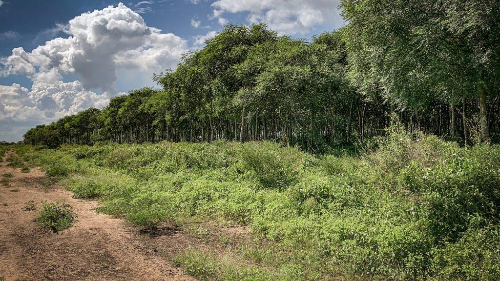 Gränsen där de planterade träden börjar. Foto: Torgny Johnsson